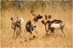 Wild Dogs Playing VI by TamarViewStudio