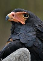 Bateleur Eagle 0484 by robbobert