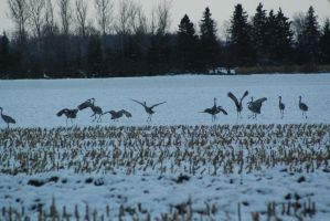 Sandhills at sunset- Sandhill dance by ringette-and-riding