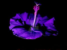 Purple Ballerina by maryephotography