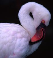 Indo-Flamingo by jbrum