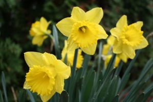 Daffodils for April Stock 2 by SimplyBackgrounds