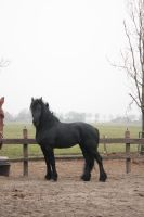 Friesian Stallion 38 by PerfectionStock