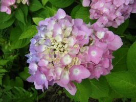 Hydrangea from Rock City by LadyElasa