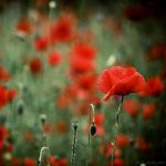 poppyland by Frall