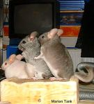 Chinchilla Humping Parade by Villa-Chinchilla
