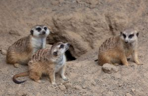 Meerkats ll by deseonocturno