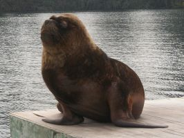 Snobby Sea Lion by weRDunfo