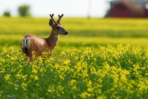 Mule deer in Canola by JestePhotography