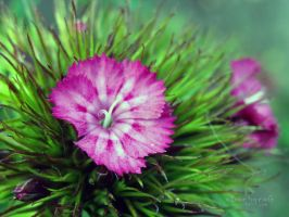 Sweet William by xBarbaraG
