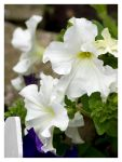 White petunias by Liuanta