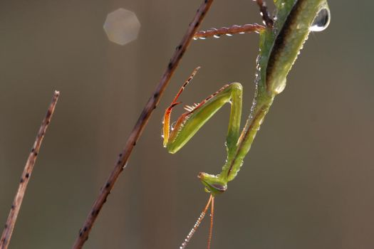 Morning mantis by marble911