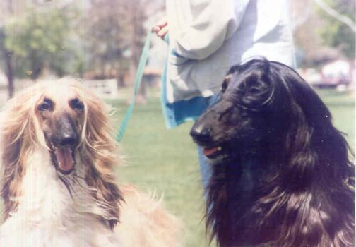 dog show photos afghan hound 6 by DarkwolfeAlpha