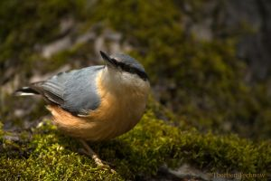 Eurasian nuthatch by WildGepard