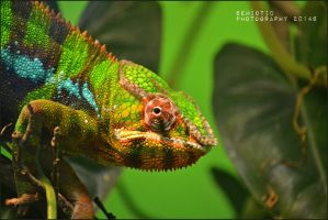 Karma chameleon by SemioticPhotography