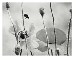 Black and white bee by Deadly-Tea-Party