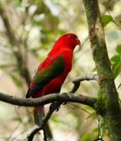Australian King Parrot by bleu3t