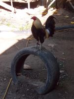 Rooster on a Wheel by ArthurT2013