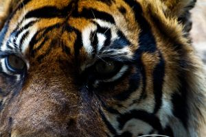 Eye of the Tiger by bakabobo