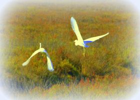 Young Egrets in Flight by smfoley