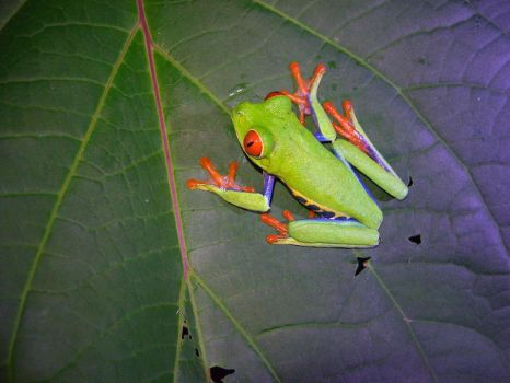 Red Eyed tree Frog by wappyness