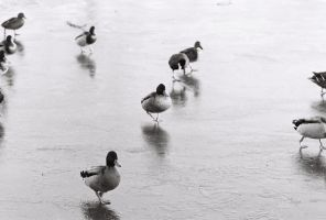 Ducks on the Ice by lorni3