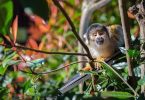 Squirrel Monkey by Eternal-Symphony