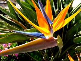 bird of paradise flower by Rosabella23