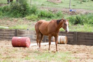 Km QH side view chestnut by Chunga-Stock