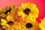 Yellow Flowers Red Bachground by AaronPlotkinPhoto