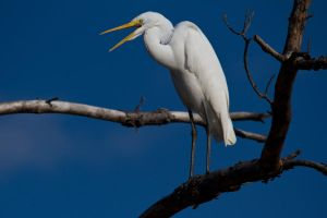 Perched Egret by bovey-photo