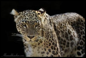 Persian Leopard by Alannah-Hawker