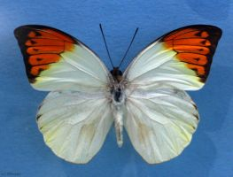 Butterfly by NHuval-stock