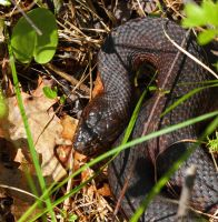 Eastern Water Snake by natureguy