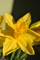 Mellow yellow 2 by Izzy-Nightshade