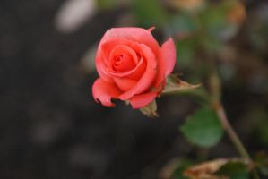 Rose 10 by mms92