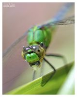 Dragonfly After Eating by Eccoton