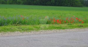Poppy's and cornflower's by indrucis