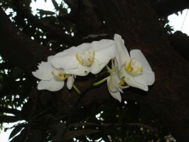 White orchid by TeSiamese