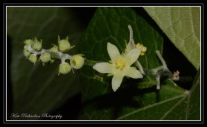 Choco Vine flowers by DesignKReations