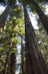 Tall Redwoods by ladyune79
