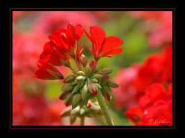 La vie en rouge by plumita1