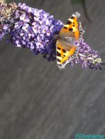 peacock butterfly on purple flowers by IamNasher