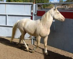 Blue Eyed Palomino Stallion2 by showcasestock