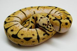 Bumble Bee Ball Python by JAMills