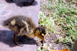 Duckling by Fox-Superior