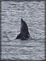 Bottlenose Dolphins 40D0027517 by Cristian-M