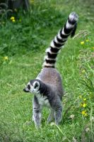 Ring Tailed Lemur by FurLined