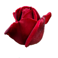 Red rosa PNG by Ilenush