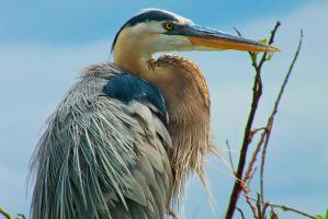 Blue Heron III by DevonDavis